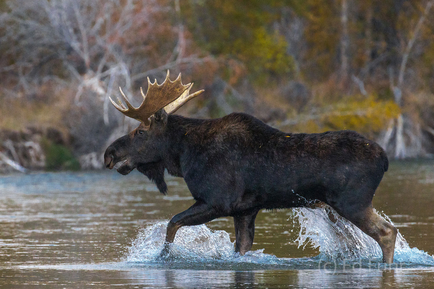 A young bull moose splashes across the Gros Ventre River.