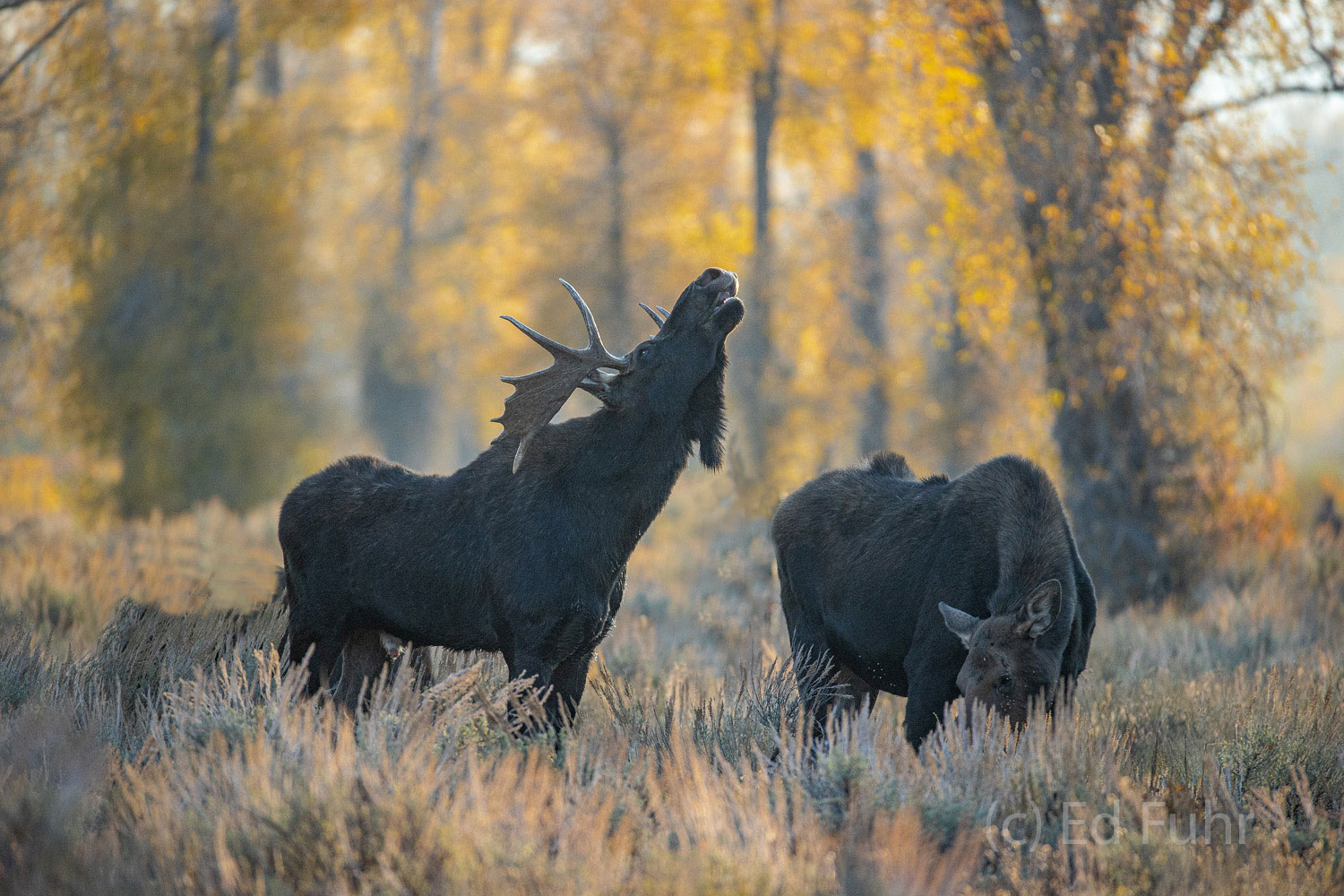 The rut is on and a large bull moose displays a classic Flehmen Response or lip curl, a common response by bull moose when they...