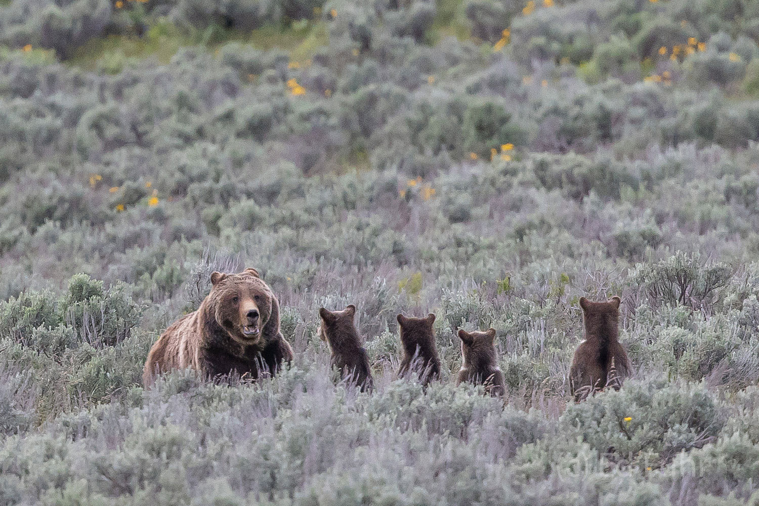 Grizzly 399 has just greeted her daughter 610 and her two subadults but knows any encounter with other grizzlies, even family...