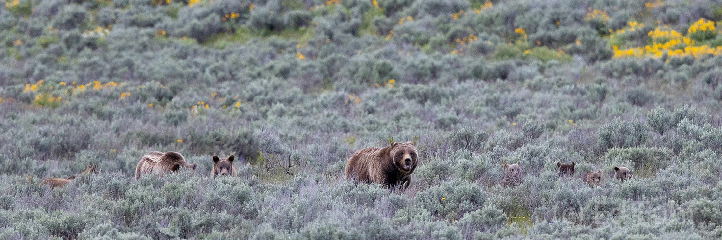 A family reunion breaks out as Grizzly 399 and her four cubs have a brief encounter with Grizzly 610,  and her two subadults....