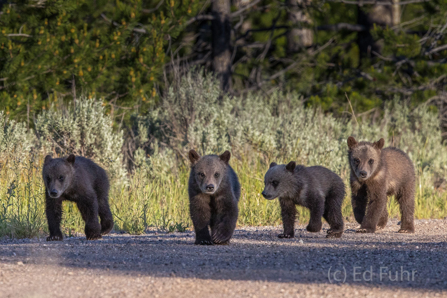 Meet the new Fab Four as they make their way down what must be Abbey Road in Grand Teton National Park.