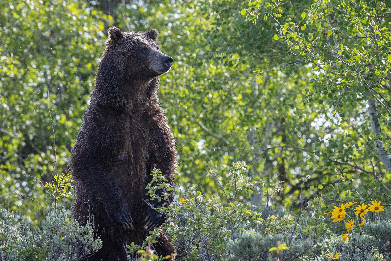 610, grizzly, 399, subadult, grizzlies, cub, quad, summer, grand teton, , Tetons, photo