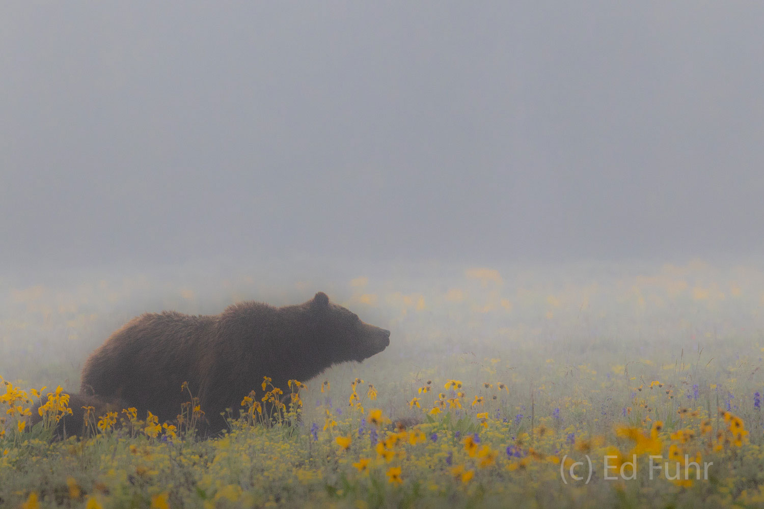 Through the fog, Grizzly 399 appears in a dreamy landscape of sage and flowers.