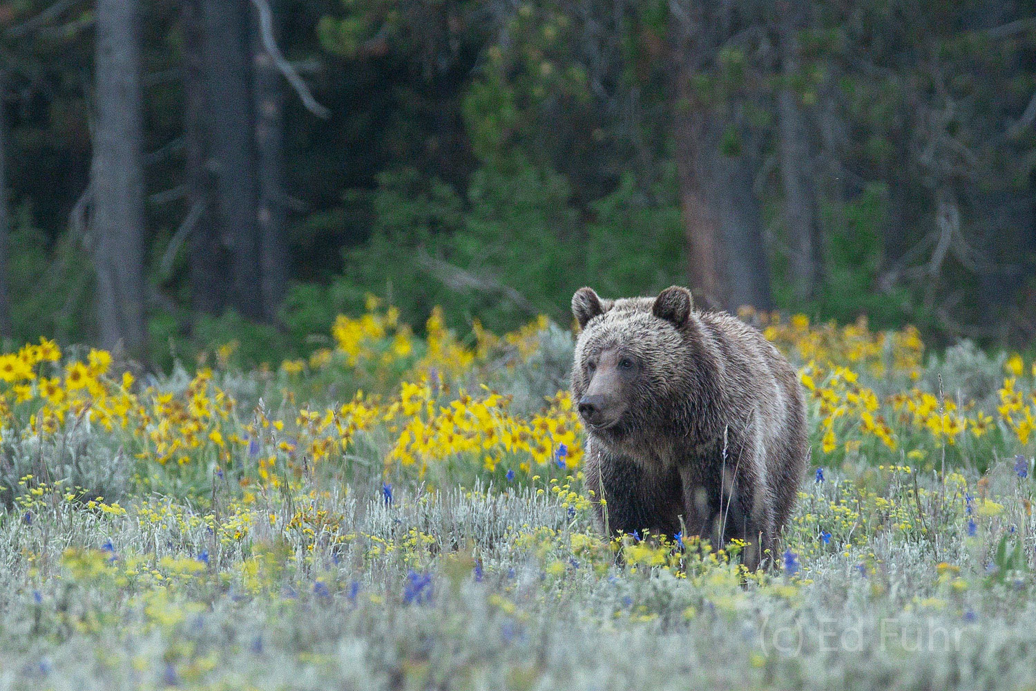 A young male grizzly, one of Blondie's subadults, walks through a meadow of flowers.