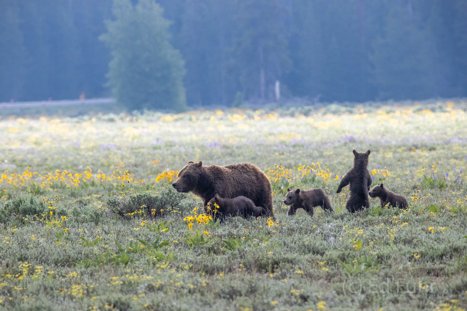 Grizzly 399 leads her cubs away from the meadow when a young male grizzly has approached too close.