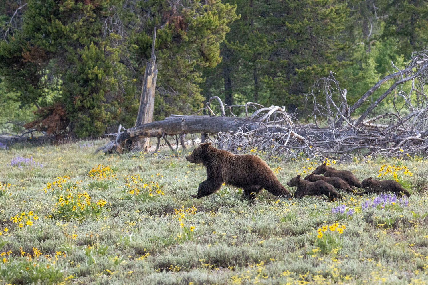 Grizzly 399 and her quad cubs race across the open meadow to safety.
