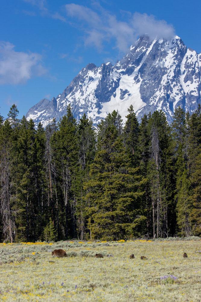 grizzly, 399, 610, subadult, grizzlies, cub, quad, summer, grand teton, , Tetons, photo