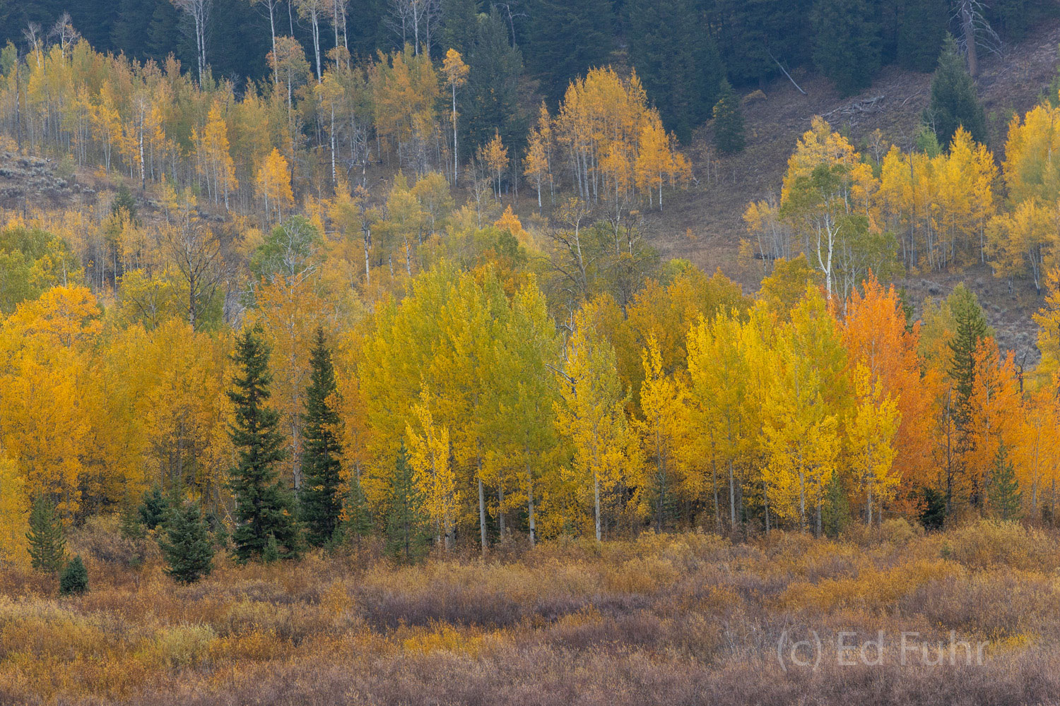 Pines, willows and aspen create an autumn montage near Pacific Creek.