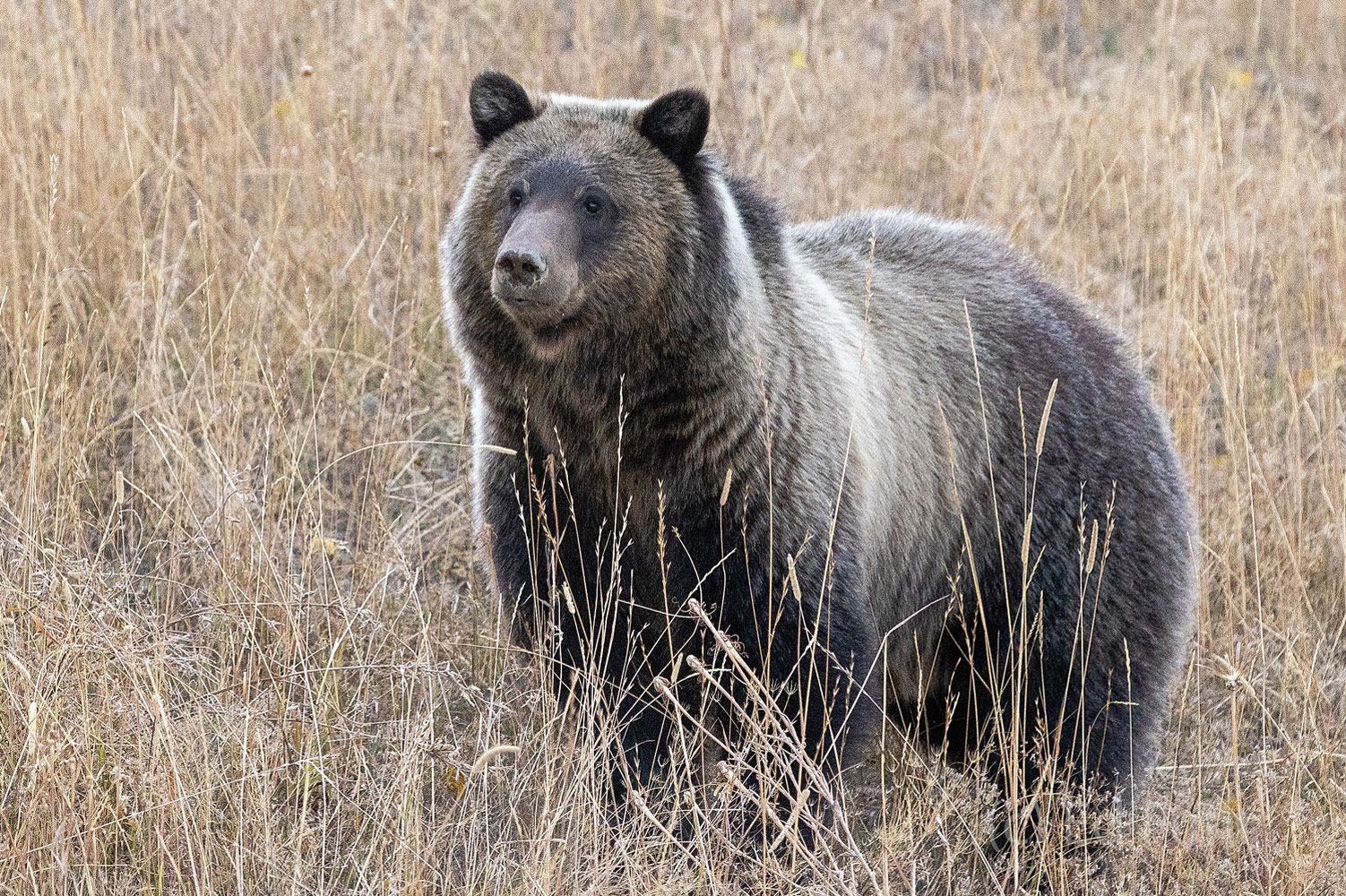 Grizzly 610, daughter of 399, and mother to two large cubs, is in the prime of her life and cuts a powerful figure.