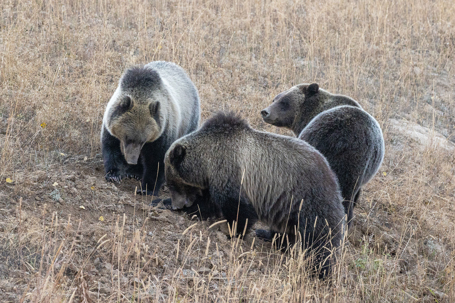 Grizzly 610 and her two large cubs, now more than two years old, root for grubs, ants and yarrow roots along Pacific Creek road...