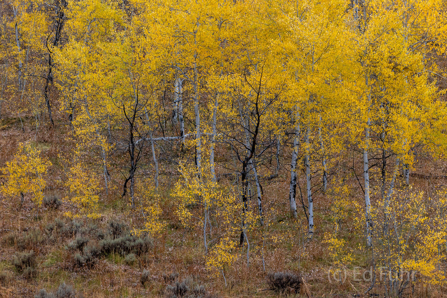 On this rainy autumn day, a grove of aspen, stands saturated and in peak color.