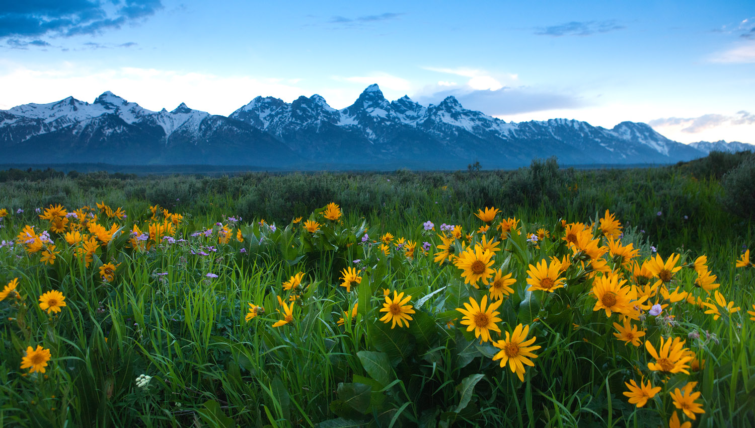 wildflowers; tetons, , photo