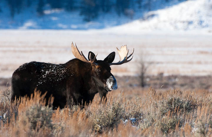 moose, bull, snow, sage, tetons, photograph, landscape, photo