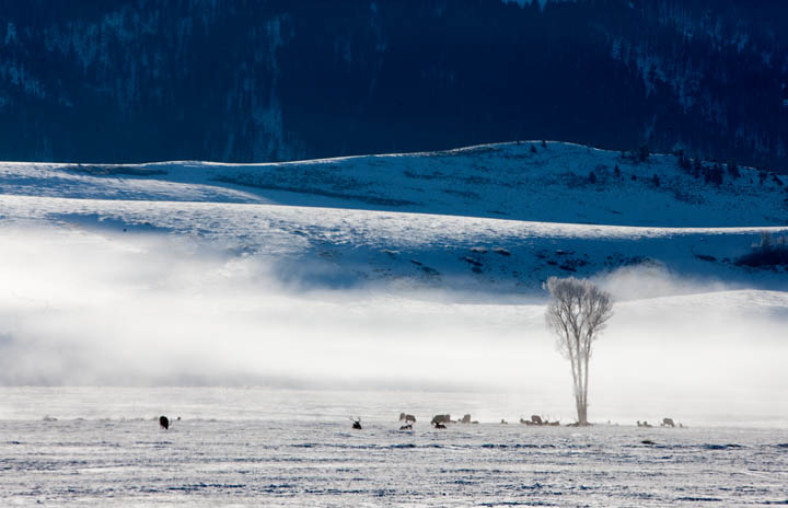 elk, refuge, winter, snow, tetons, photo, , photo