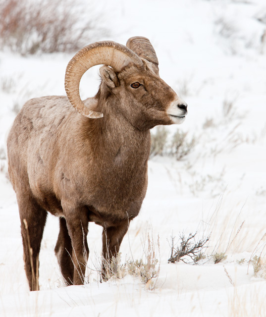 big horn sheep, photo, wildlife, tetons, winter, snow, photo