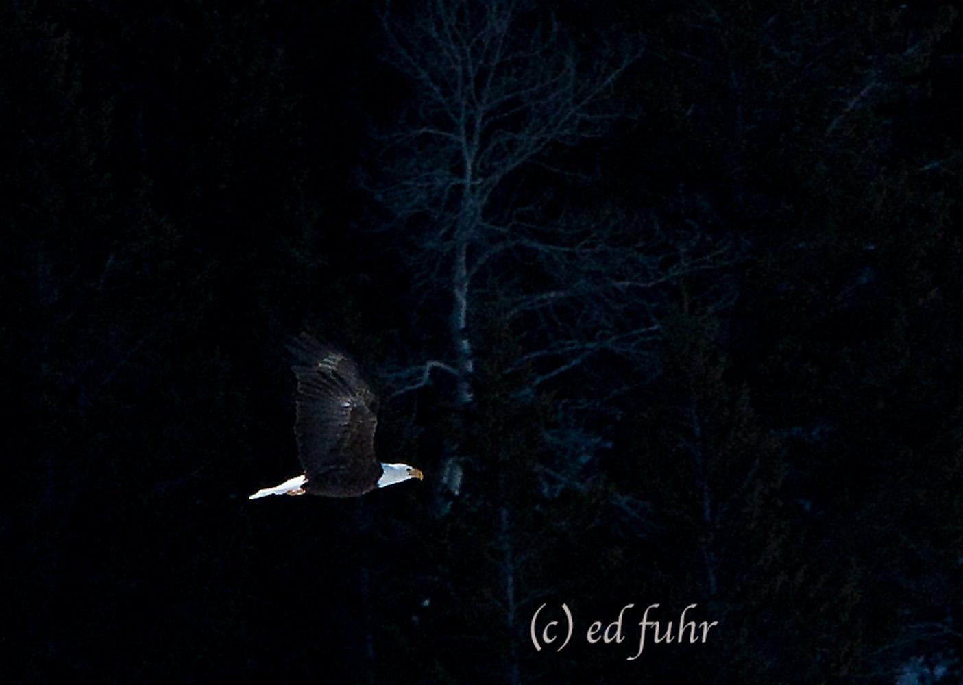bald eagle, bird, grand teton national park, 2011, Tetons, Grand Teton, photo