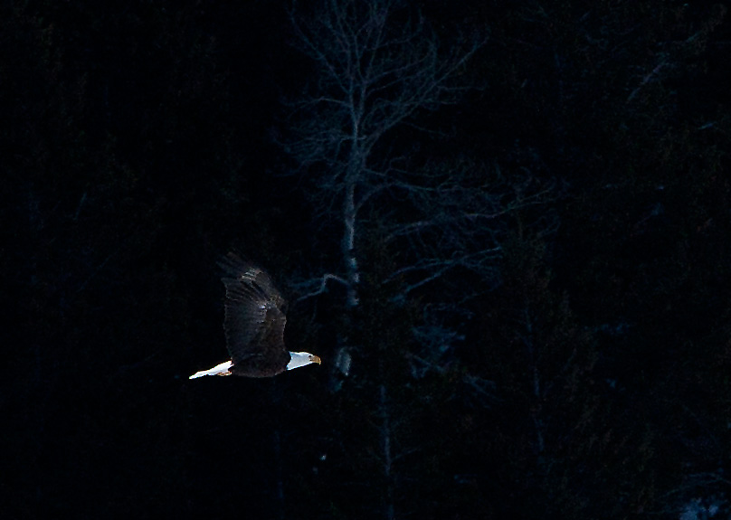 bald eagle, photo, photograph, photo