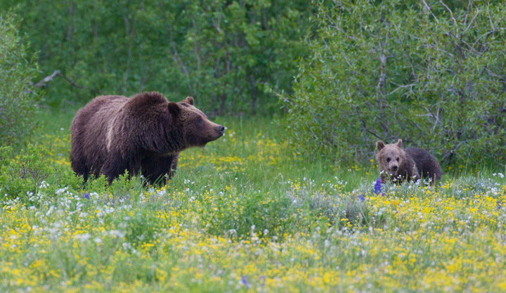 bear, grizzly, 399, cub, meadow, photo