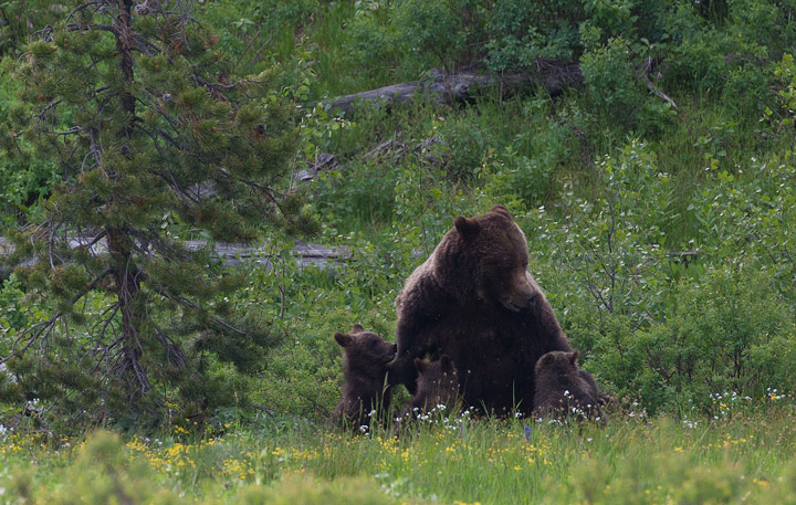grizzly, bear, 399, nursing, cubs, tetons, photo