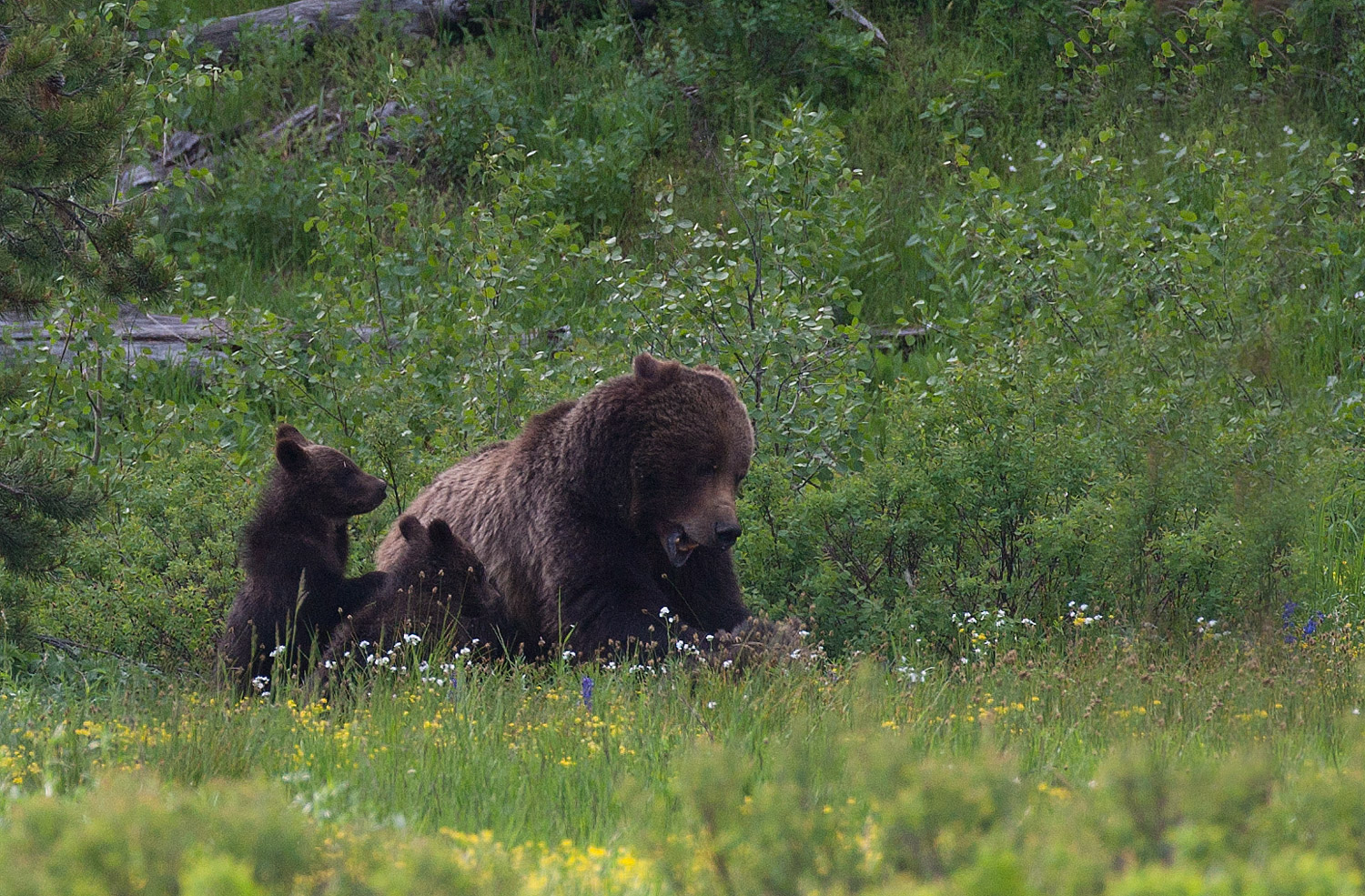 399, grizzly, bear, cubs, nursing, tetons, photo